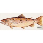 Brown Trout  - #BOR20  -  PRINT