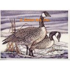 Canadian Geese  - #COR23  -  PRINT