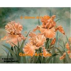 Peach Iris  - ZOR310  -  PRINT