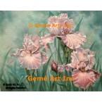 Pink Iris  - ZOR311  -  PRINT