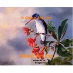 Violet-Crown Hummingbird  - ROR428  -  PRINT