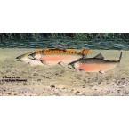 Fish  - #MOR701  -  PRINT