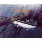 Steelhead  - #QOR13  -  PRINT