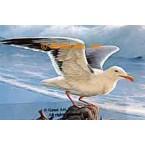 Seagull  - #QOR42  -  PRINT