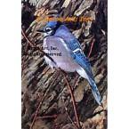 Blue Jay  - #MORMB616-1  -  PRINT