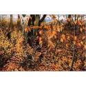 Autumn Walk  - #ROR904  -  PRINT