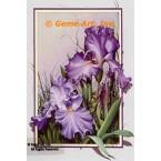 Purple Iris  - #ROR102  -  PRINT