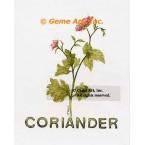 Coriander Spice  - #ZOR886  -  PRINT