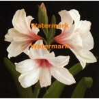 Contemporary Lily II  -  #XXKP10957  -  PRINT