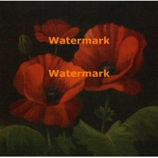Vibrant Red Poppies I  - #XXKP11727  -  PRINT