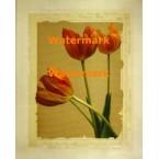 Tangerine Tulips II  - #XXKL20137  -  PRINT