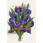 Just Picked Purple Iris  - SOR49  -  PRINT