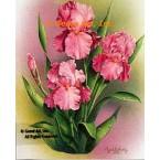Pink Iris  - IOR100  -  PRINT