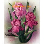 Pink Mauve Iris  - IOR101  -  PRINT