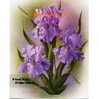 Purple Iris  - IOR102  -  PRINT