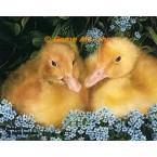 Ducks  - #IOR148  -  PRINT