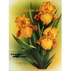 Gold Yellow Iris  - IOR98  -  PRINT