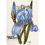 Blue Iris  - TOR238  -  PRINT