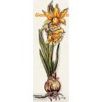 Daffodils  - #TOR628  -  PRINT