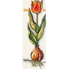 Tulip  - TOR629  -  PRINT