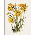 Daffodils  - #TOR5030  -  PRINT