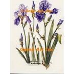 Purple Iris  - TOR5031  -  PRINT