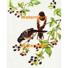 Towhees and Blackberries  - #XBBI-118  -  PRINT
