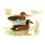 Ducks  - XBBI-337  -  PRINT