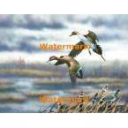 Ducks & Cattails  - #XBBI-895  -  PRINT