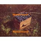Bucket of Blueberries  - #XBSC1388  -  PRINT