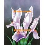 Velvet Iris  - #XD10936  -  PRINT