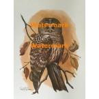 Barred Owl  - #XKV8133 -  PRINT
