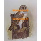 Barn Owl  - #XKH1193  -  PRINT
