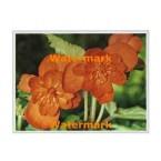 Orange Begonia  - #XKFL2001  -  PRINT