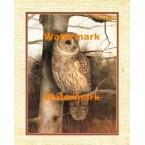 Barred Owl  - #XKFL3274  -  PRINT