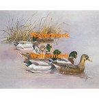 Mallards Swimming  - XBBI-1090  -  PRINT