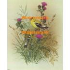 American Goldfinch  - XBBI-152  -  PRINT