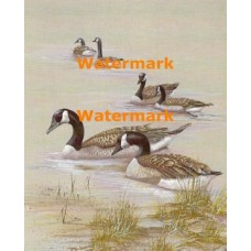 Canadian Geese  - XBBI-873  -  PRINT