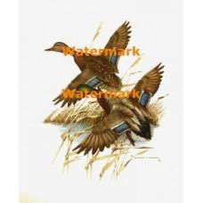 Mallards Departing  - XKA4669  -  PRINT