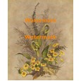 Marsh Marigolds  - XKWIA3140  -  PRINT