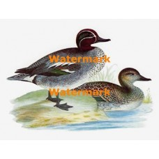 Green-Winged Teal Duck  - XS5476  -  PRINT