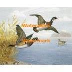 Wood Ducks  - XS9161  -  PRINT