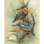 Kingfishers  - XD50937  -  PRINT
