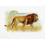 Lion  - XBAN818  -  PRINT