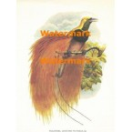 Paradisea Auguste Victorle  - XBBI-78  -  PRINT