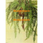Boston Fern  - XBFL933  -  PRINT