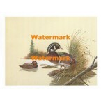 Wood Ducks  - XS766  -  PRINT
