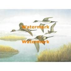 Ducks  - XS9158  -  PRINT