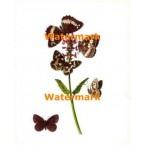 Butterflies  - #XD7092  -  PRINT