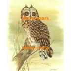 Short-Eared Owl  - #XKL8223  -  PRINT